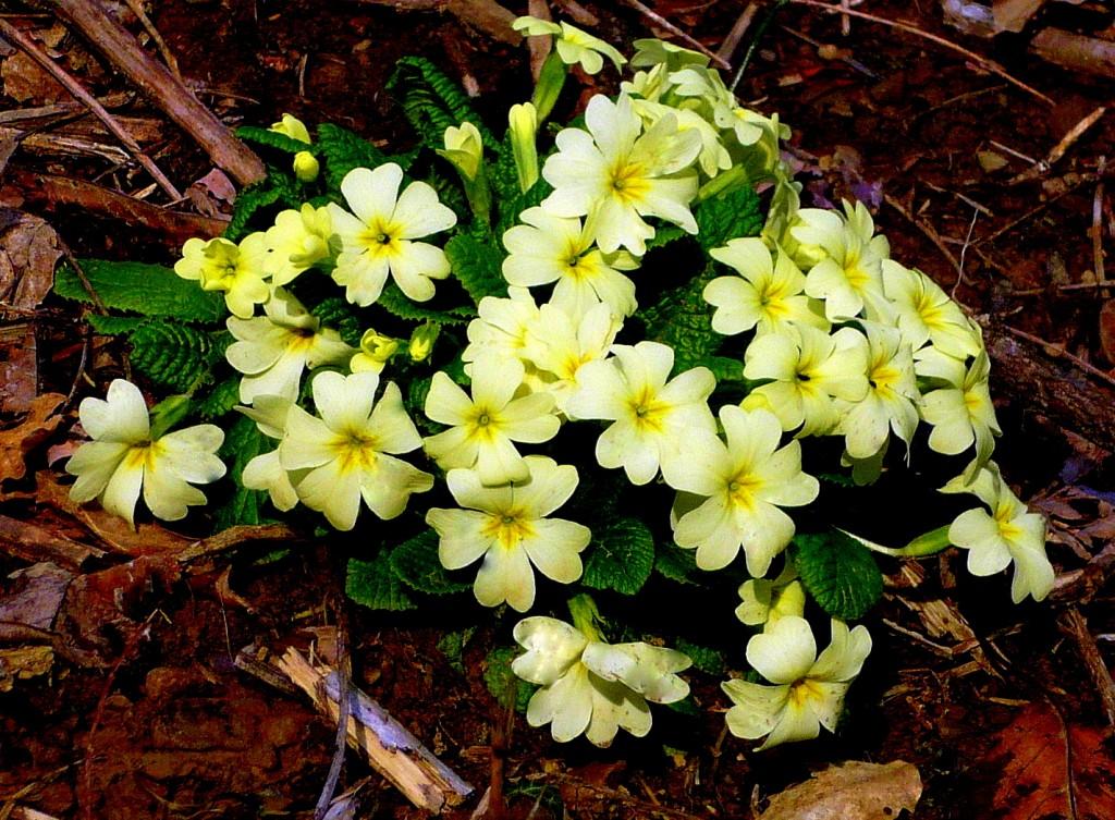 Primule tarassaco trifoglio c a i melzo for Primule immagini