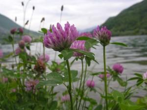 Trifolium_pratense